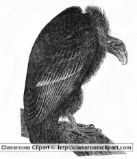 bird_62_vulture