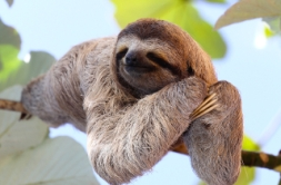 baby sloth poses for the camera on the tree